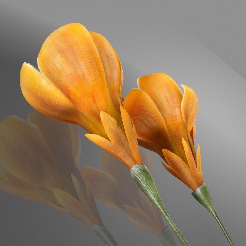 flower crocus yello 3d model
