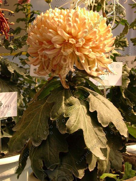 FLOWER CHRYSANTHEMUM 08