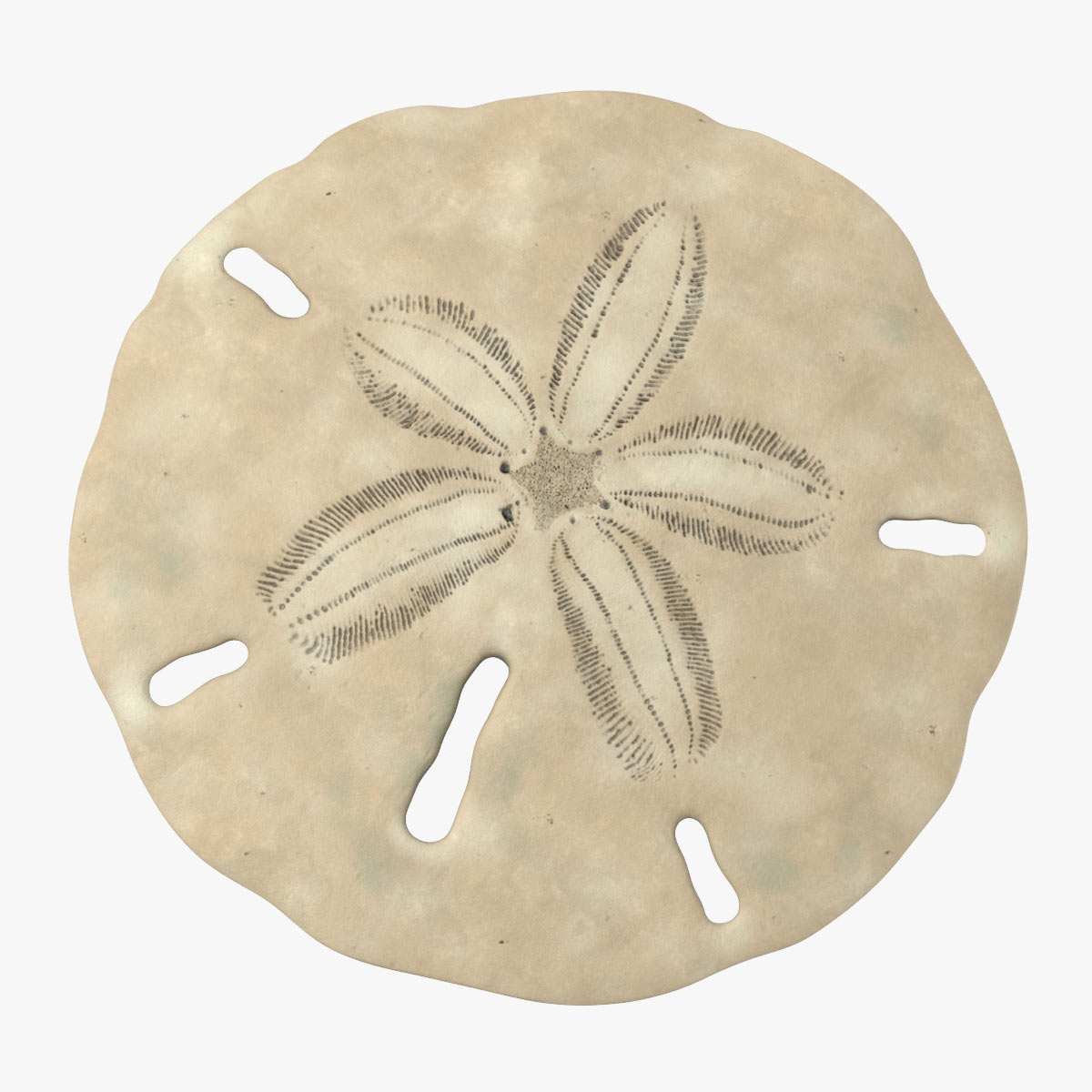 sand dollar 3d model by Tornado Studio